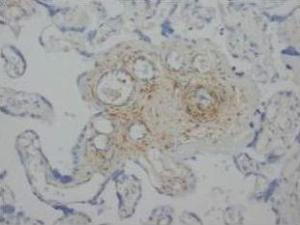 Immunohistochemical analysis of paraffin-embedded human placenta sections using ANG2 antibody.