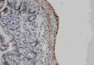 IHC-P of mouse intestines tissue using FAS antibody.