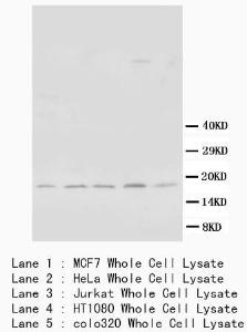 Western Blot analysis of cell lysate using BCL2L1 antibody