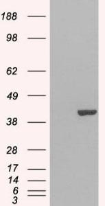 Western blot analysis of HEK293 Cell using GRAP2 antibody