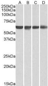 Western blot analysis of staining of HeLa (A), HepG2 (B), Jurkat (C) and HEK293 (D) nuclear lysates (35µg protein in RIPA buffer) using PTBP1 antibody.