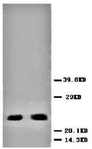 Western blot analysis of hela cell lysate using BBC3 antibody