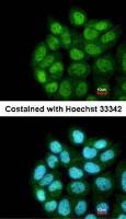 Confocal immunofluorescence analysis of paraformaldehyde-fixed A431 using LRRC43 antibody